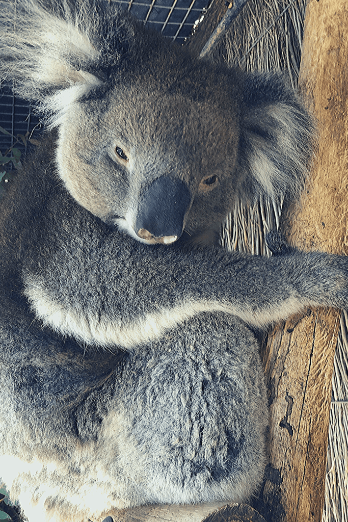 Hold a koala, one of the top animal experiences in zoos and wildlife parks in and near Adelaide; image of a koala