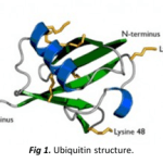 How is Ubiquitin implicated in cell signalling and other biological processes?