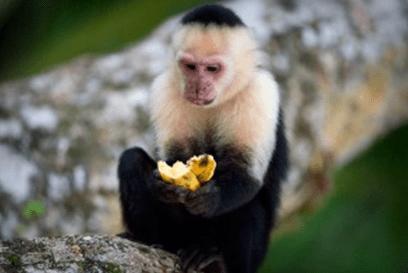 تلاحظ أن تحديق عيني القرد، وقوة إمالة الرأس كلها متجهة ناحية الموزة.