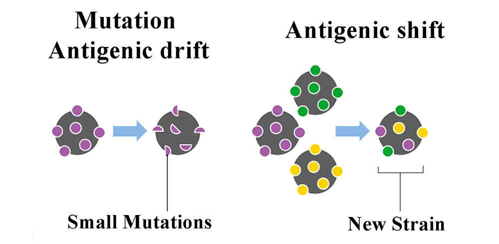 Antigenic Drift vs Antigenic Shift