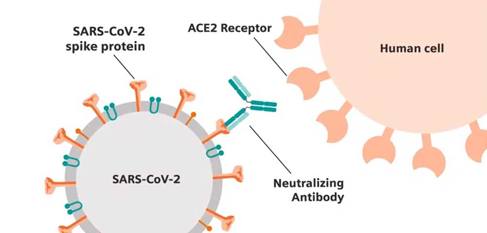 Antibodies attaching to SARS-CoV-2 virus Siemens