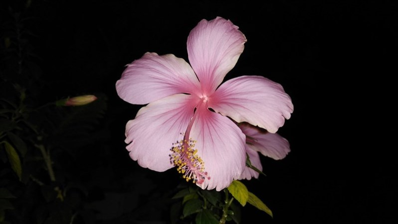 12 light pink hibiscus dark view
