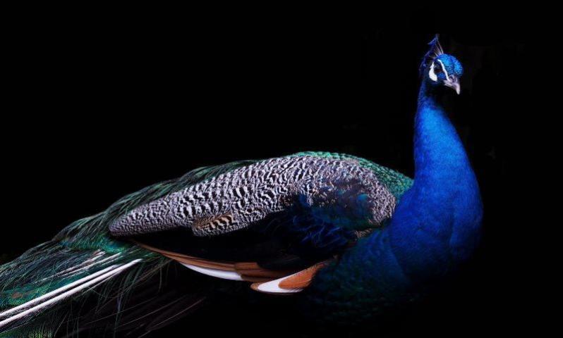 13 peacock