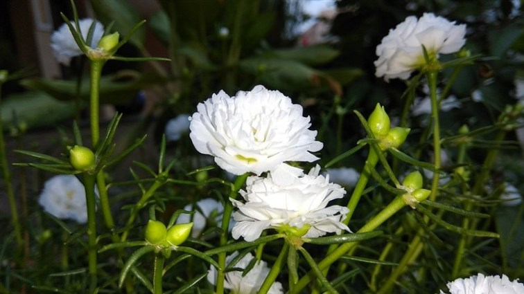 14 white flower with kalee bud
