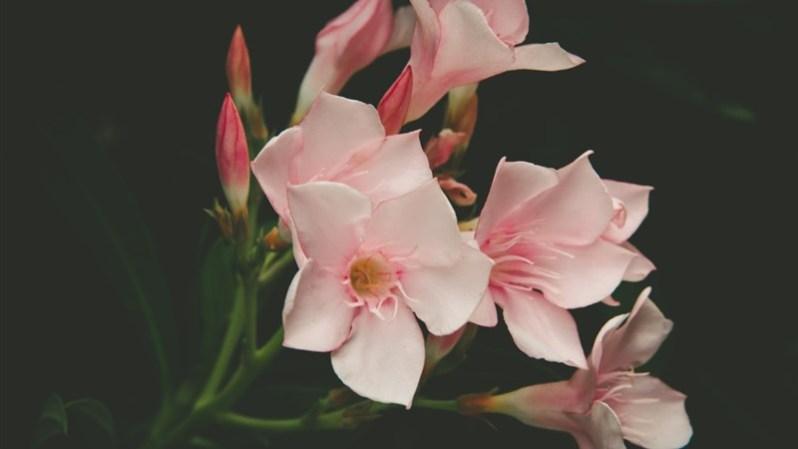 17 Petal flora pink flower