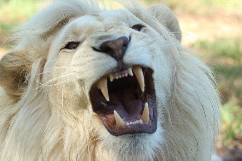 17 white lion close up