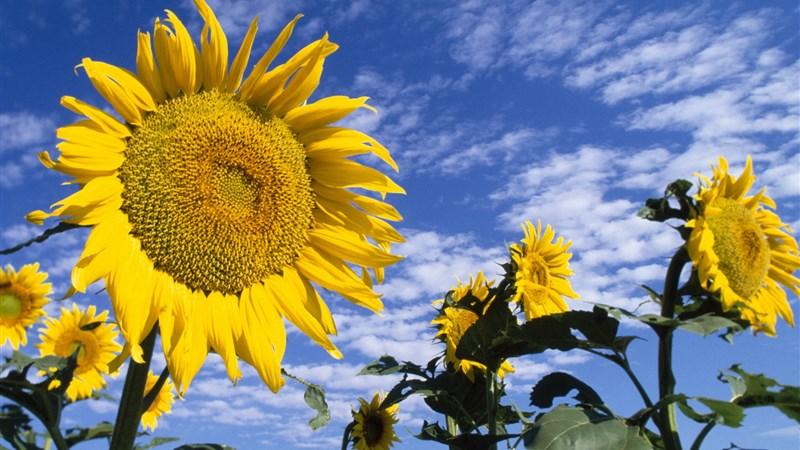 24 sunflowers