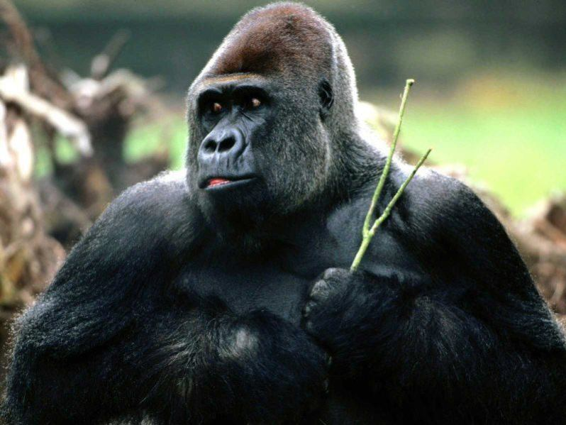 31 gorila