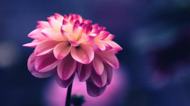 36 flower pink petals bud close up