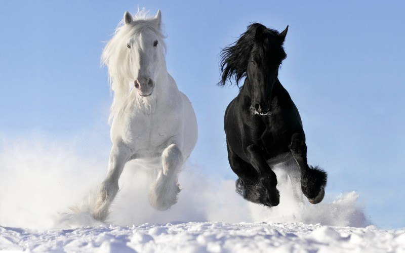 40 white and black horse
