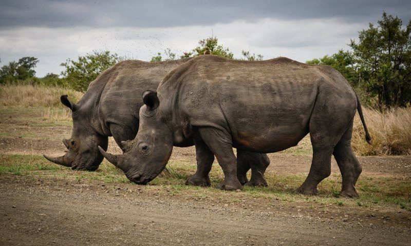 5 two rhino on gray field
