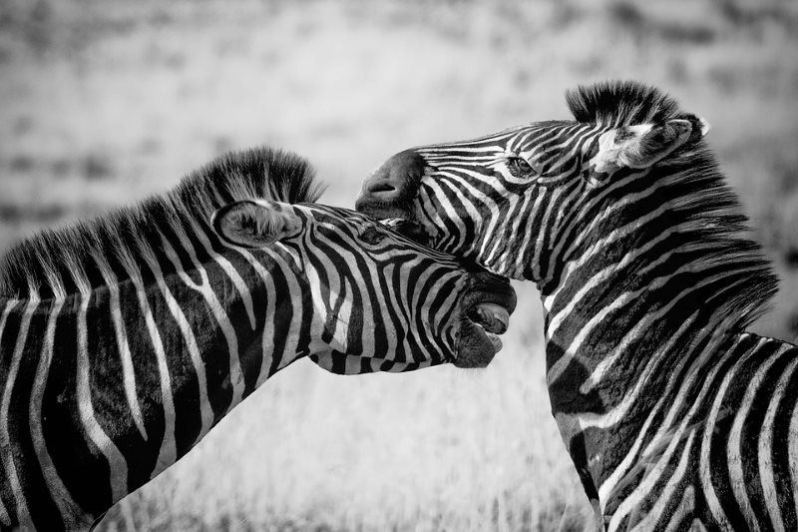 7 zebra wildlife