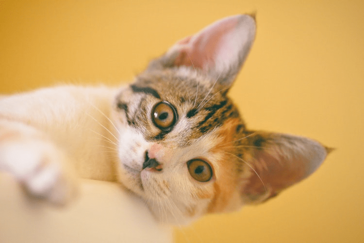 What You Need To Know About The Devon Rex Cat Breed