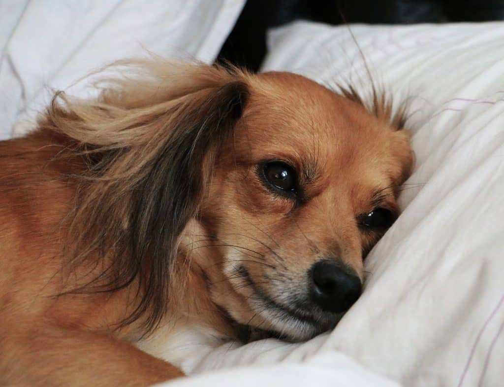 Trazodone: An Anxiety Releaser for Your Dog
