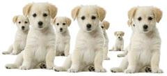 puppy_cloning.jpg
