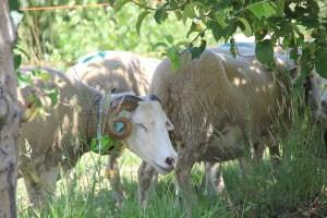 """SheepIT: A coleira que """"ensina"""" os rebanhos a seleccionar a comida nas vinhas"""