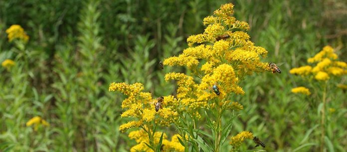 The giant goldenrod (Solidago gigantea) is a species introduced from North America. It is considered invasive in Switzerland because it can dominate environments bordering agricultural fields. But favourable biological interactions with pollinators take place and the plant has medicinal properties. Current biodiversity and sustainability indicators ignore these positive contributions. © UNIGE