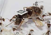 The scientists tagged thousands of ants in total to quantify all interactions between individuals and understand how colonies can protect themselves from disease. Photo courtesy of Timothée Brütsch