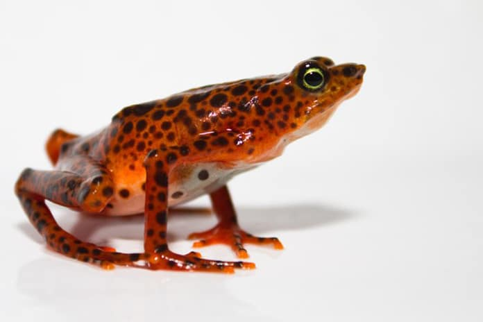 The Toad Mountain harlequin frog is endangered and at risk from the Bd fungus.B. GRATWICKE / SMITHSONIAN CONSERVATION BIOLOGY INSTITUTE)