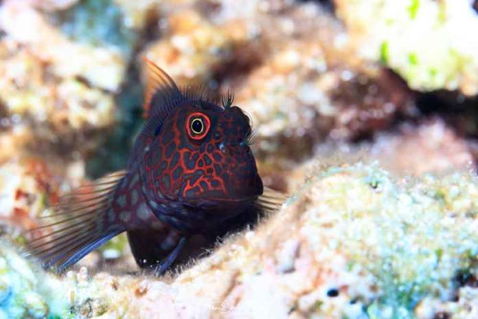 Gobies and blennies, like this redstreaked blenny, underpin coral reef productivity at a great cost: most of these tiny fishes get eaten within several weeks or months, but they are almost immediately replenished by the next generation.Tane Sinclair-Taylor