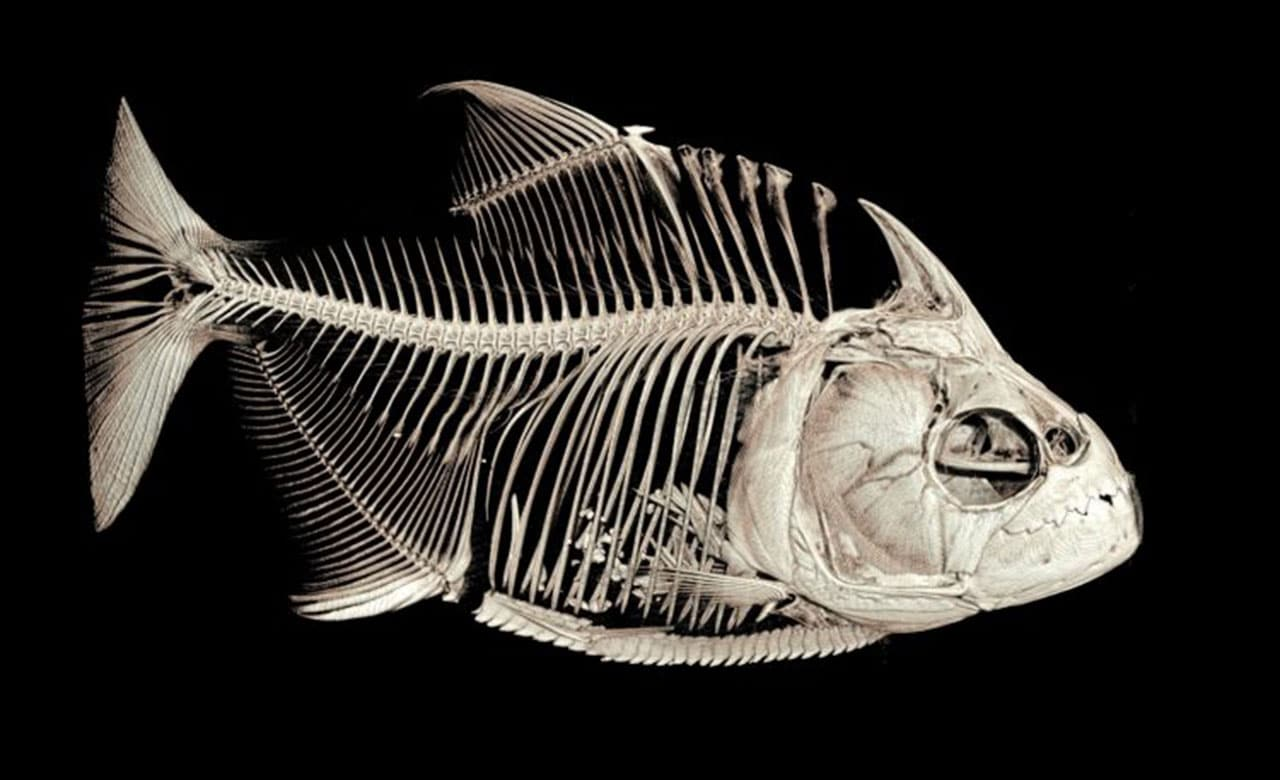 How piranhas lose and regrow their teeth?
