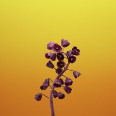 Flower_FRITILLARIA - TechFoogle