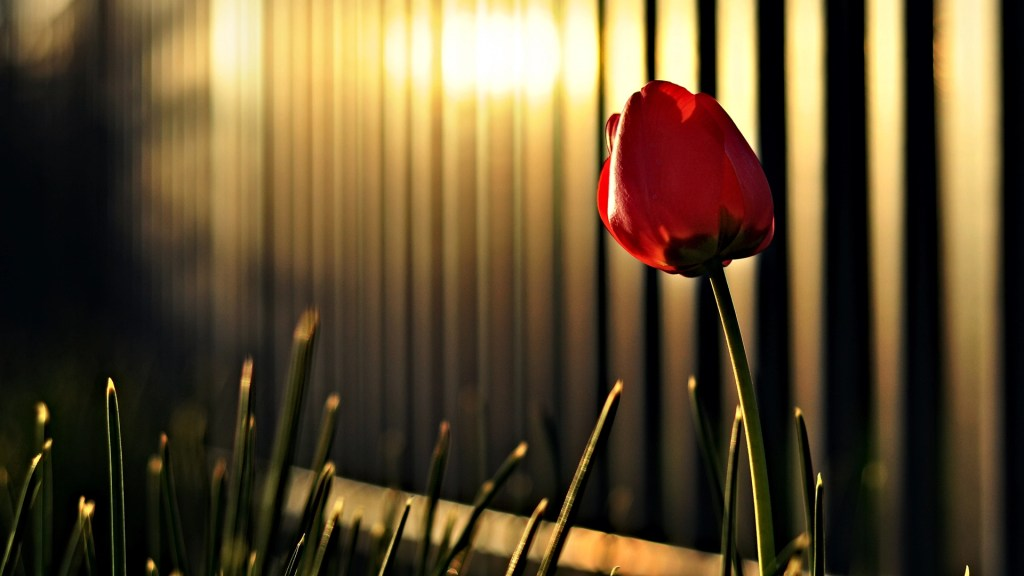 HD tulip red flower image wallpaper