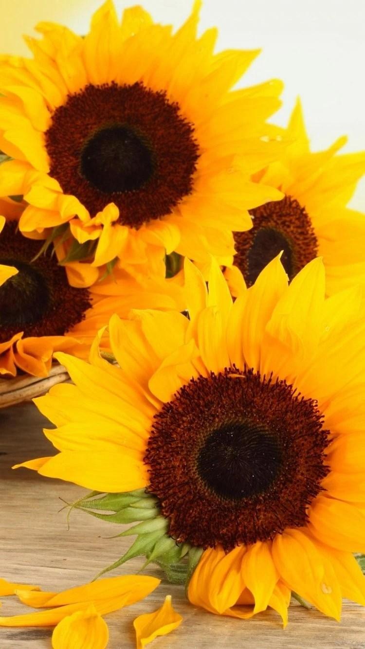 iPhone 7 sunflower yellow wallpaper