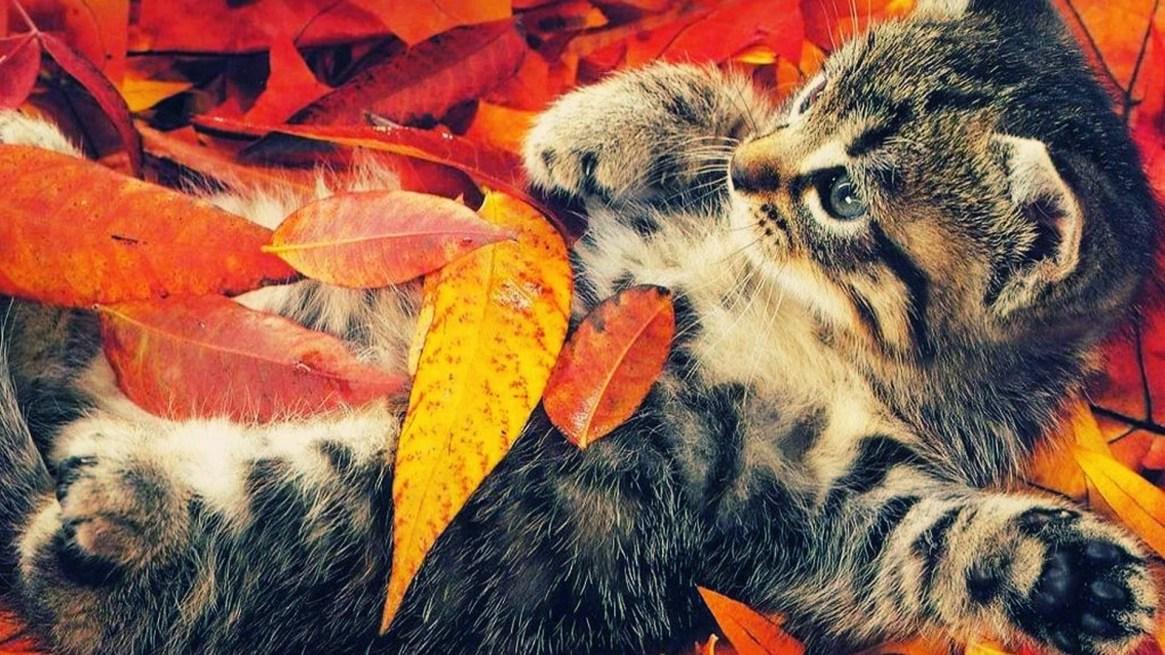 fall-wallpapers-cat