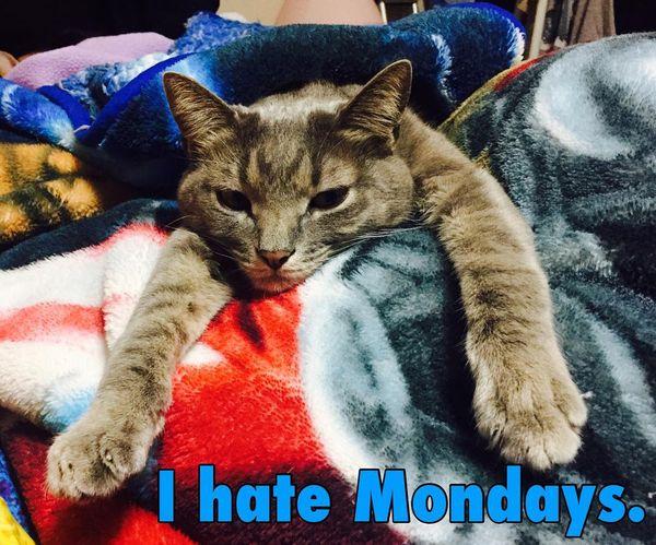 i hate mondays cat meme