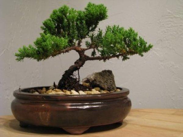 Bonsai Juniper Tree