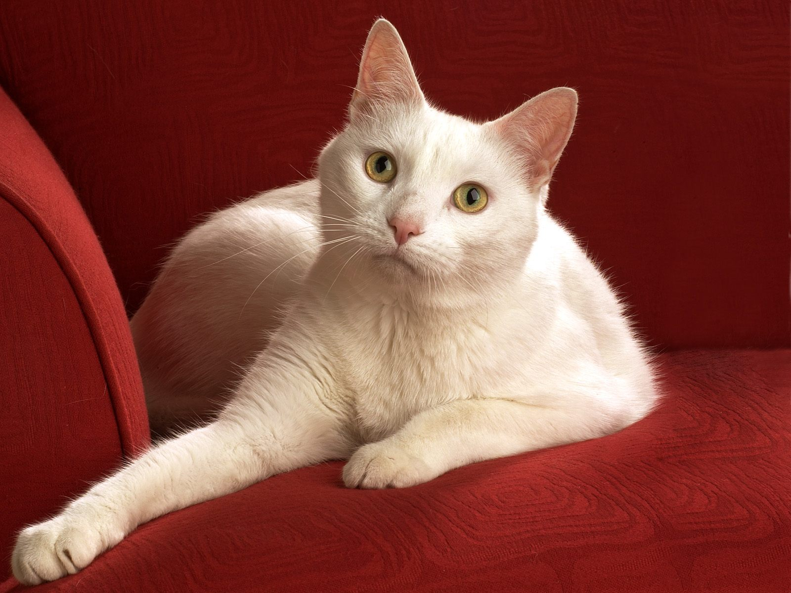 best sofa for cats owners camo and recliner chat blanc jpg 16001200 cat portraits pinterest