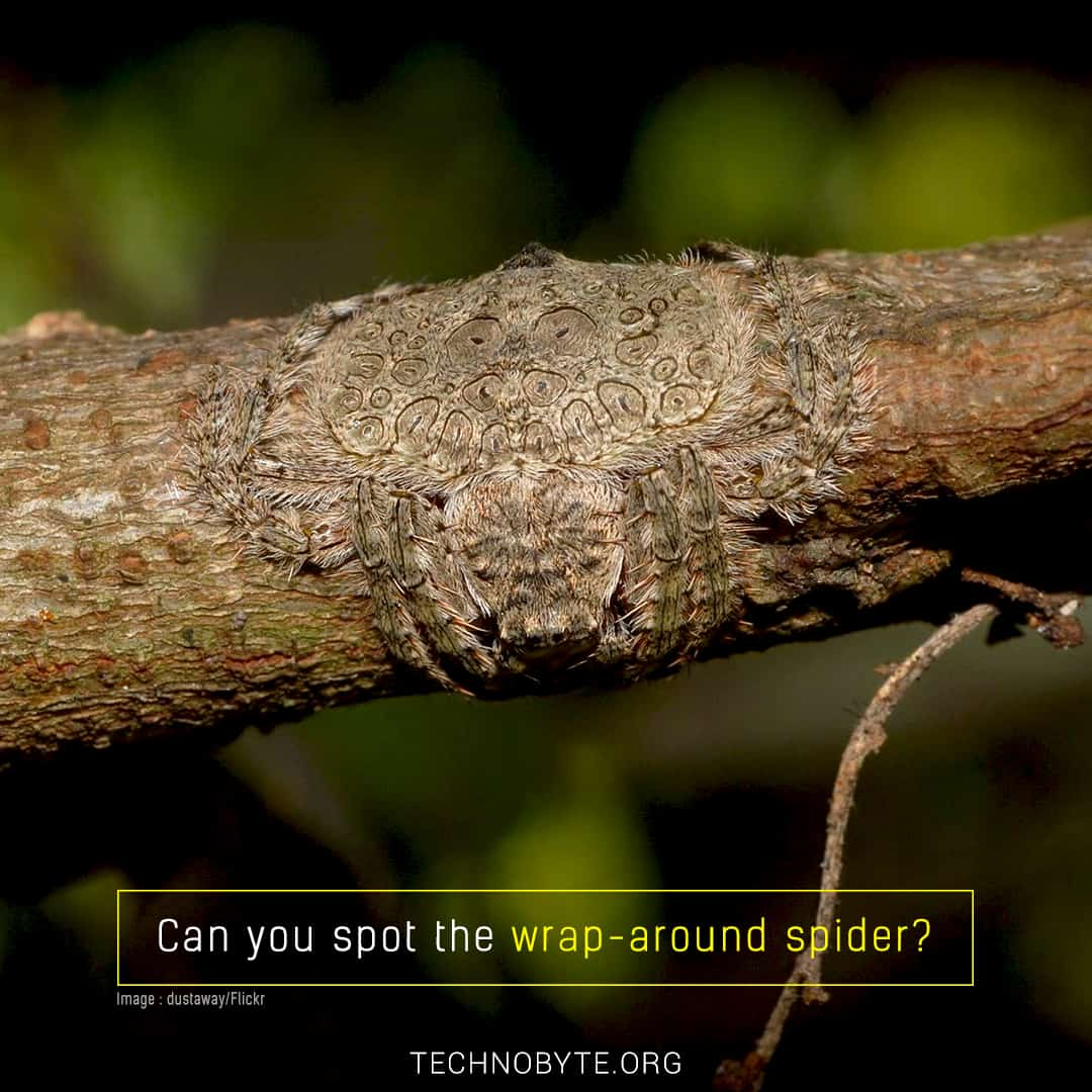 wrap-around spider australia interesting fact