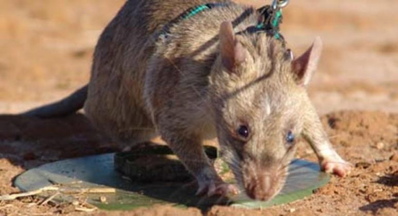 mine sniffing rat
