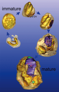 Electron tomographic reconstruction of the malaria parasite, Plasmodium falciparum, showing the different stages of development. Mature parasites (right hand side) degrade hemoglobin in a digestive vacuole (DV) making them susceptible to attack by the antimalarial drug, artemisinin, while immature parasites (left hand side) are less sensitive. Images generated by Dr Eric Hanssen, Advanced Microscopy Facility, Bio21 Institute, University of Melbourne, Australia.