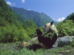 A giant panda eating some bamboo