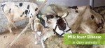 Milk fever disease in dairy animals and protocols for its prevention