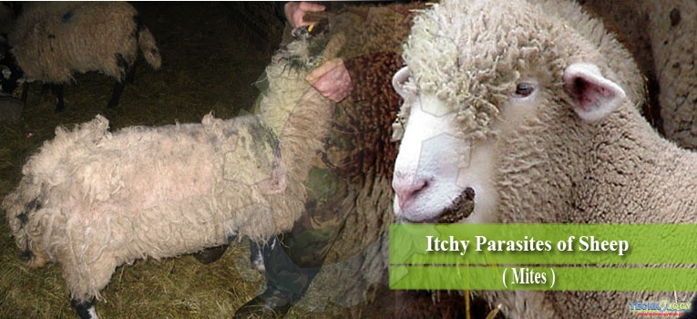 Itchy Parasites of Sheep (Mites)