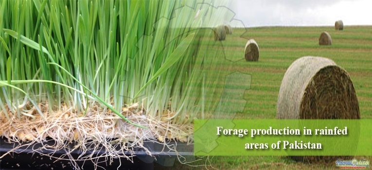 Forage production in rainfed areas of Pakistan
