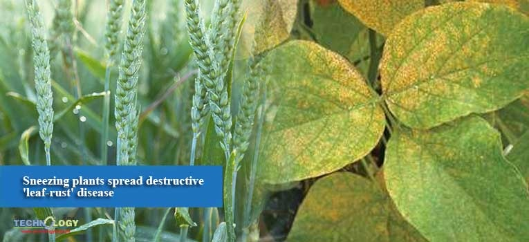 Sneezing plants spread destructive 'leaf-rust' disease