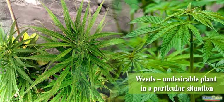 Weeds – undesirable plant in a particular situation