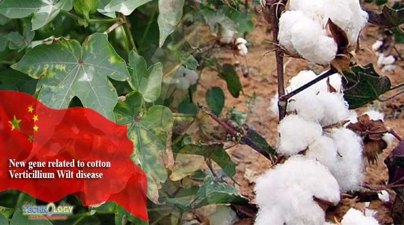New gene related to cotton Verticillium Wilt disease