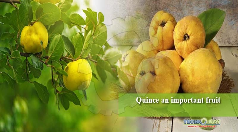 Quince an important fruit