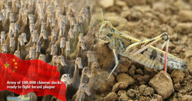 Army-of-100000-chinese-ducks-ready-to-fight-locust-plague