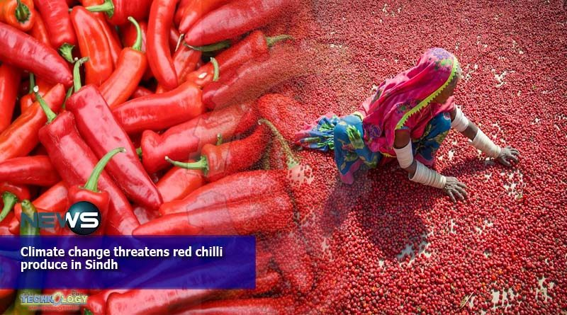 Climate change threatens red chilli produce in Sindh