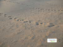 Camel footprints in Sand Close Look