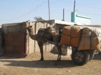 Camel with load of hay