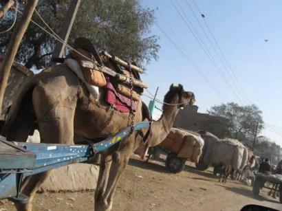 Camels in Bikaner