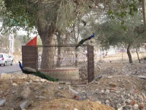 Peacock Pair