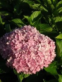 Shalimar garden pink flower